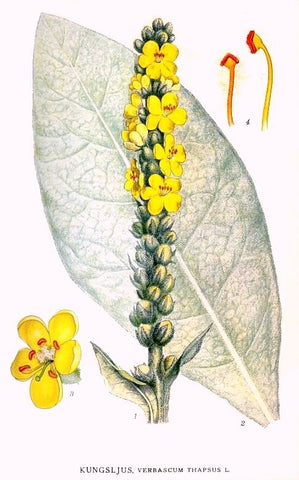 Mullein | Aaron's Rod, Lady's Foxglove, Velvetback | Protection, Courage, Love, Prevent Nightmares, Health, Divination
