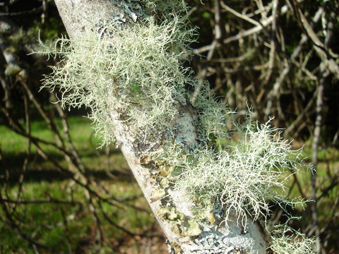 Old Man's Beard | Spanish Moss, Usnea | Protection, Money Drawing, Jinxing, Poppet Stuffing