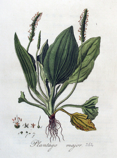 Plantain Leaf | Cuckoo's Bread, Englishman's Foot, Waybread | Strength, Protection, Power Over The Supernatural