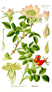 Rose Hips | Briar Rose, Dog Rose, Hip Berries | Money, Attraction, Luck, Good Fortune