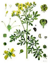Rue Herb | Herb Of Grace, Countryman's Treacle | Jinx Reversing, Repel The Evil Eye, Healing, Love