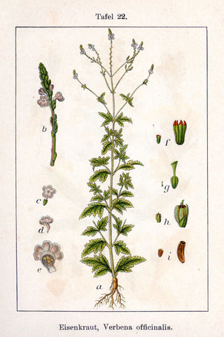 Vervain | Blue Vervain, Enchanter's Herb, Juno's Tears, Van Van | Healing, Love, Money, Peace, Protection, Purification