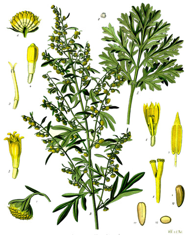 Wormwood | Southernwood, Grande Absinthe | Protection, Love, Psychic Powers, Summon Spirits