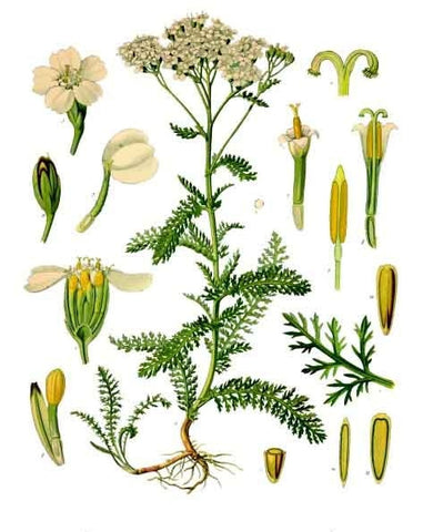 Yarrow | Thousand Seal, Devil's Nettle | Courage, Love, Exorcism, Psychic Powers