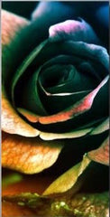 """A DEEP COLORED ROSE"""