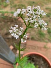 Valerian Flower Essence - Calm impulsive reactions.