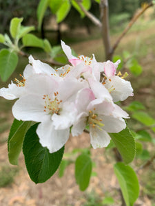Apple Blossom Essence - Encouraging positive self-image.