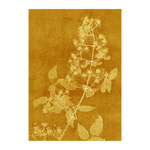 Clematis Curry Limited Edition Print, Pernille Folcarelli