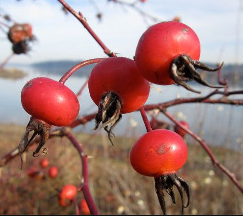 Image of rose hips which produce a skin-nourishing, scar reducing oil useful in soaps and cosmetics including Camamu's Chamomile Rose Hip Soap