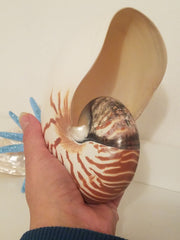"NAUTILUS LARGE  6""- 6 1/2""  POLISHED SHELL * BEAUTIFUL!"