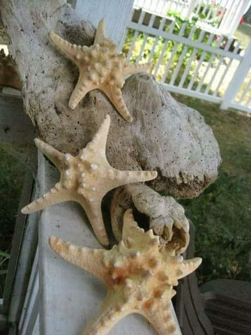 "2 Knobby Starfish 5""-7"" BEAUTIFUL - Beach Wedding"