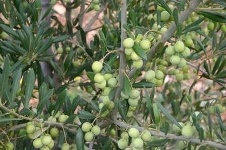 ARBOSANA (California) evoo - NEW!