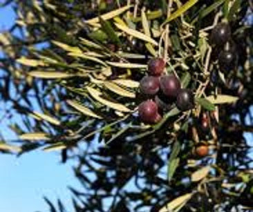 Load image into Gallery viewer, BARNEA (Australia) evoo