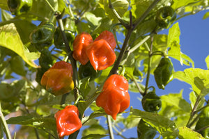 Load image into Gallery viewer, CITRUS HABANERO fused
