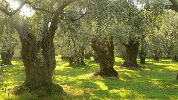 KORONEIKI (Greece) evoo
