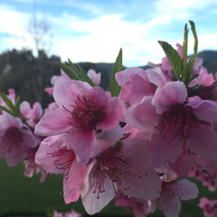 White Peach Blossoms - A True Sign It's Spring!