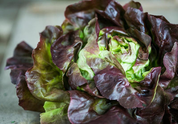 Organic Oak leaf lettuce red