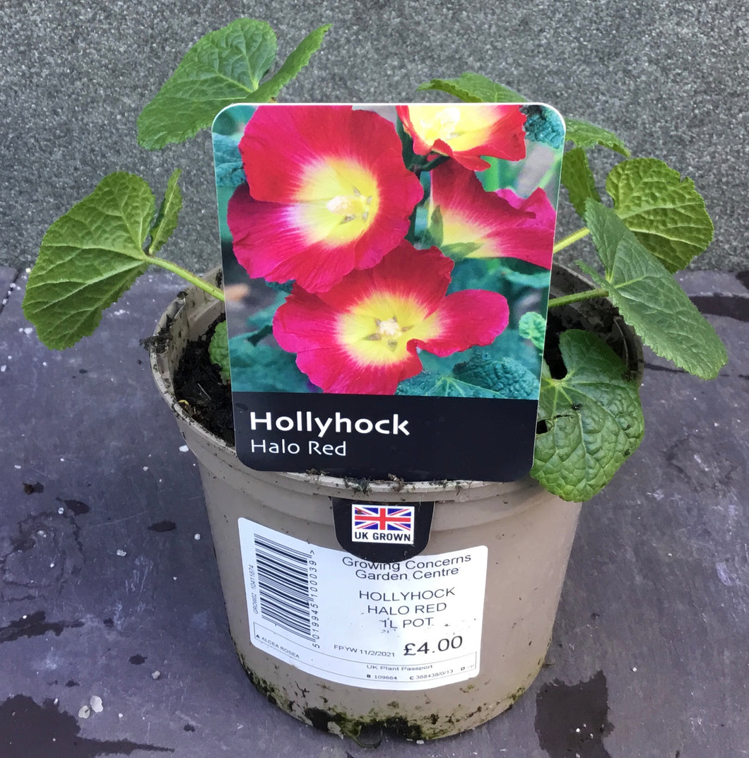 HOLLYHOCK SINGLE RED 1L