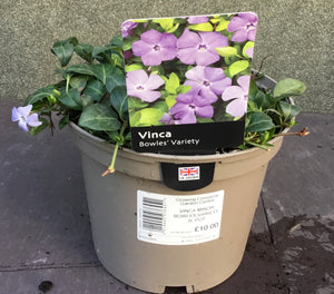VINCA MINOR BOWLES VARIETY 3L