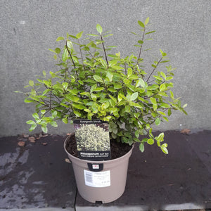 Pittosporum Golf Ball 3L