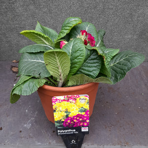 POLYANTHUS SHOWSTOPPER CALYPSO 3.3L