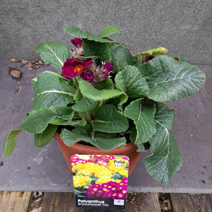 POLYANTHUS SHOWSTOPPER PURPLE 3.3L