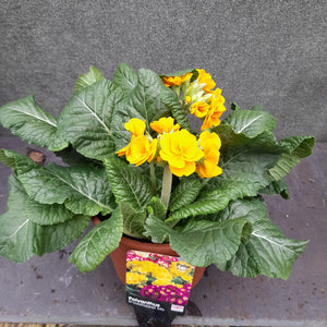 POLYANTHUS SHOWSTOPPER ORANGE 3.3L