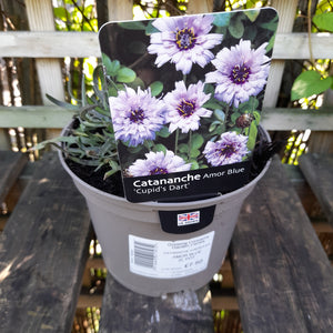 CATANANCHE CAERULEA AMOR BLUE 2L pot