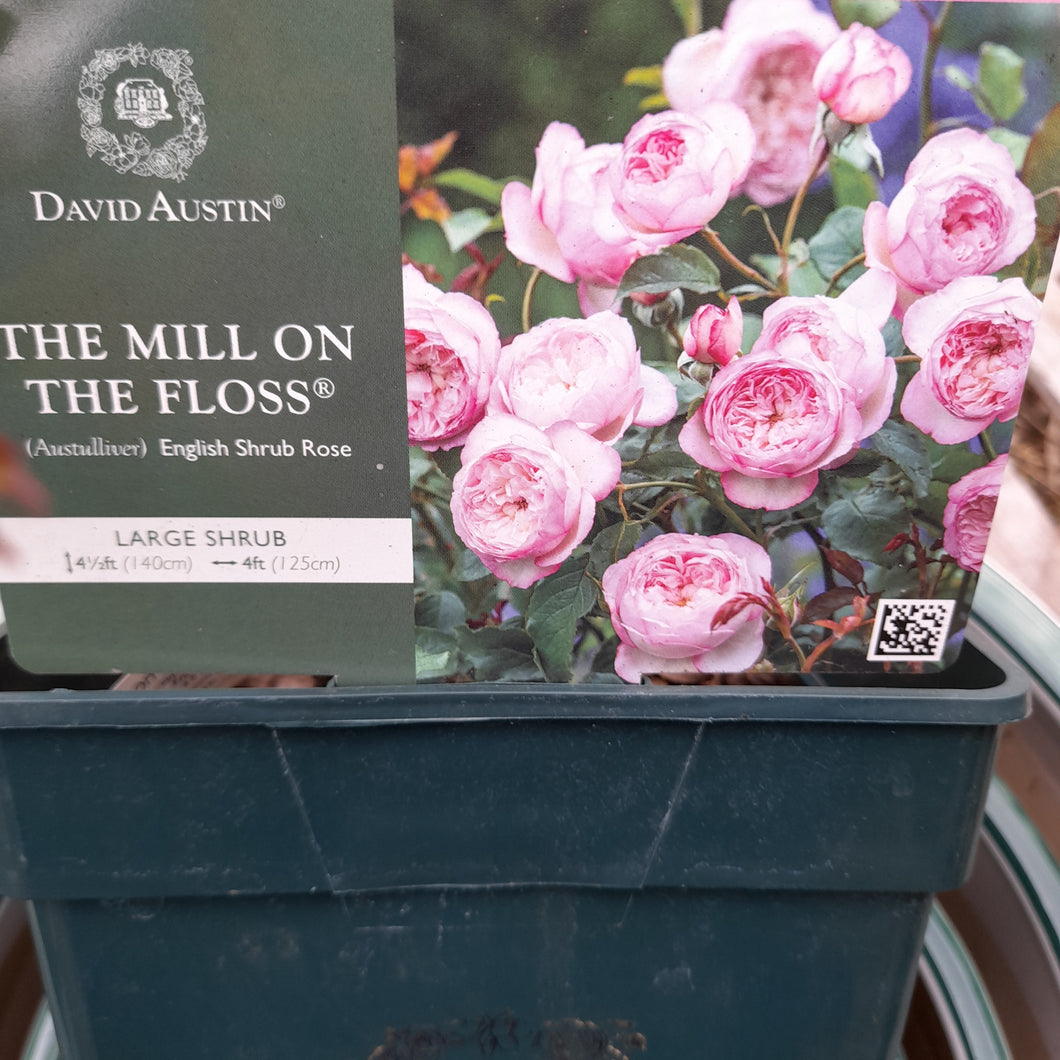 The Mill on the Floss David Austin Rose