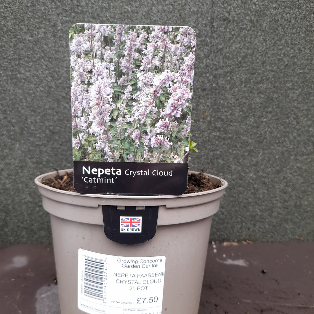 Nepeta .FAAS. CRYSTAL CLOUD 2L