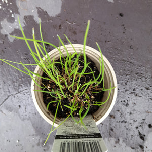 CHIVES GARLIC 9CM