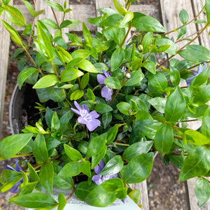 VINCA MINOR AZUREA FLORE PLENO 3L