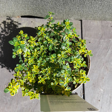 Load image into Gallery viewer, THYME LEMON VARIEGATED 1L