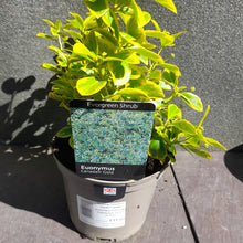 Load image into Gallery viewer, EUONYMUS FORTUNEI CANADALE GOLD 2L