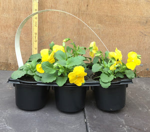Yellow Pansey 6 Pack (Viola F1)