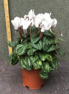 Cyclamen white with a touch of pink  H20cm 10cm Pot