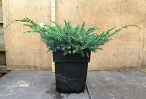 Blue Conifer Ground Cover