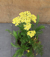 Load image into Gallery viewer, Achillea