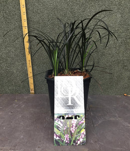 Ophiopogon plan. Niger H15cm pot 15cm