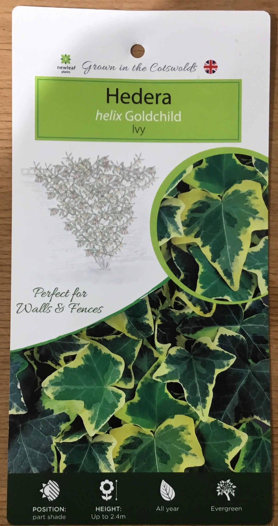 Ivy: Hedera helix Gold Child