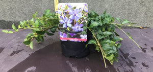 Vinca minor H15cm Pot 13cm