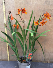 Load image into Gallery viewer, Crocosmia 2L