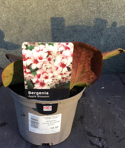 BERGENIA APPLE BLOSSOM 2L