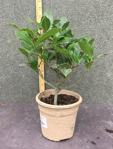 Laurus nobilis  Feel Green H20cm pot 10.5cm