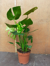 Load image into Gallery viewer, Monstera deliciosa REF:2020
