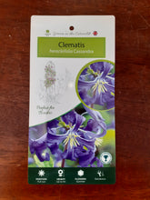 Load image into Gallery viewer, Clematis Heracleifolia Cassandra  2020