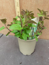 Load image into Gallery viewer, MINT BASIL 9cm