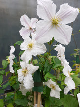 Load image into Gallery viewer, Clematis Prince George 2020