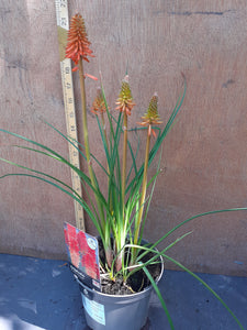 KNIPHOFIA POPSICLE SUNSET 2L