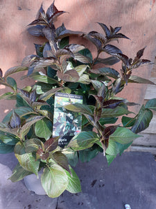 Weigela FLORIDA EBONY AND IVORY 3L